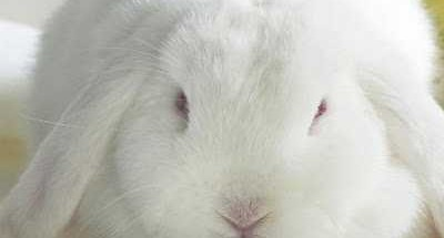 coniglio bianco