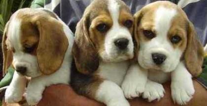 beagle-cuccioli