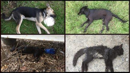 In trecento giorni avvelenati 80 mila cani e gatti randagi La denuncia e dell'associazione italiana difesa animali ed ambiente - Italiambiente