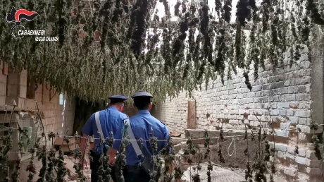 Taurianova, sequestrate 7.000 piante di marijuana all'interno di un capannone industriale. Guarda il Video
