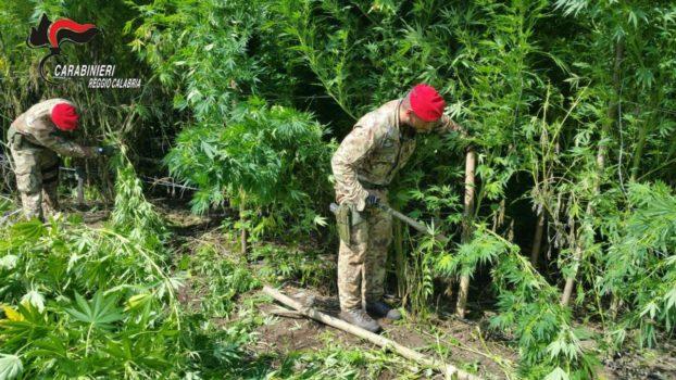 Lotta alla produzione di droga a Villa San Giovanni scoperta una vasta piantagione di marijuana