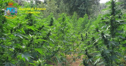 """Sequestrate in Calabria tre piantagioni di canapa indiana di oltre 2.500 piante, un arresto i finanzieri hanno rinvenuto un essiccatoio artigianalmente predisposto, opportunamente """"mimetizzato"""" tra la vegetazione, strumentale all'ultimazione delle fasi di """"lavorazione"""" della cannabis, successive all'eradicazione"""