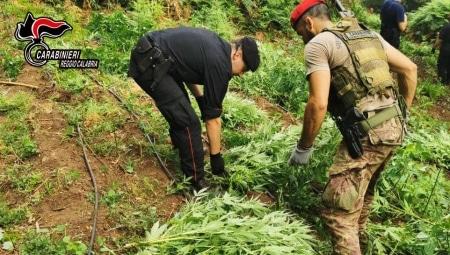 """I carabinieri di Taurianova sequestrano una piantagione di 1.229 piante di marijuana Le piante se vendute al dettaglio, """"al grammo"""" avrebbero potuto fruttare diverse decine di migliaia di euro"""