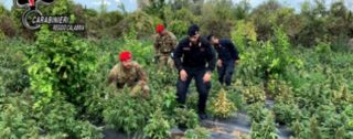 Rizziconim sequestrate 2.500 piante di marijuana e arrestate tre persone