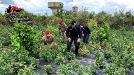 Rizziconi, sequestrate 2.500 piante di marijuana e arrestate tre persone I tre arrestati sono stati posti a disposizione dell'Autorità Giudiziaria presso il tribunale di Palmi e, dopo l'udienza di convalida, sono stati sottoposti agli arresti domiciliari