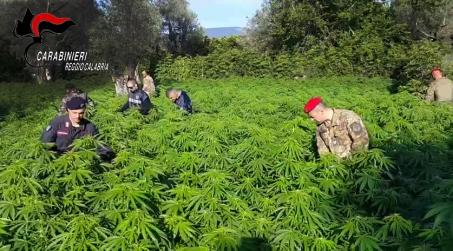 Rivenute due piantagioni di cannabis nel reggino Nello specifico, le coltivazioni, erano localizzate in territorio montano, in Placanica e costituite complessivamente da circa 200 piante di 1,80 m. d'altezza, giunte a completa maturazione